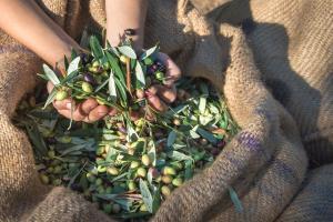 Raccolta delle olive a Cipro - Rally